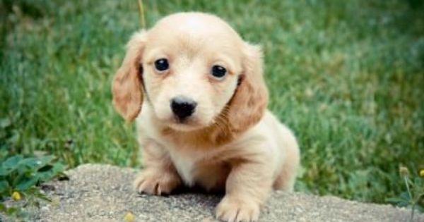 Blonde Dachshund Puppies Ee Red Long Hair Male Dachshund Puppy