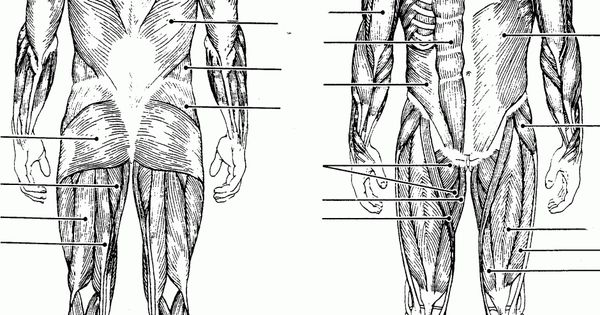 blank muscles diagram to label
