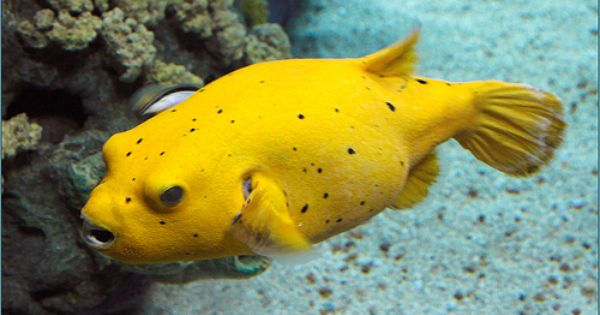Arothron golden puffer google search jellyfish other for Puffer fish for sale