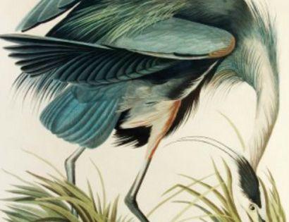 a print from james john audubons birds of america blue
