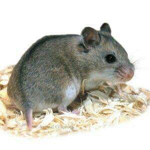 Chinese Dwarf Hamster Dwarf Hamster Chinese Dwarf Hamster Hamster