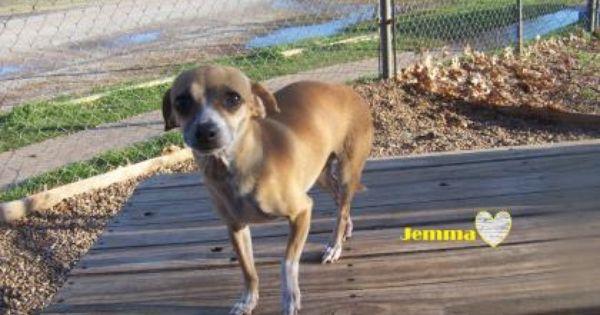 1 19 Petango Com Meet Jemma A 4 Years Chihuahua Short Coat Mix Available For Adoption In Wichita Falls Tx C Chihuahuas For Adoption Chihuahua Pets