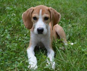 Adopt Cam Adoption Pending On Adoptable Beagle Beagle Hound