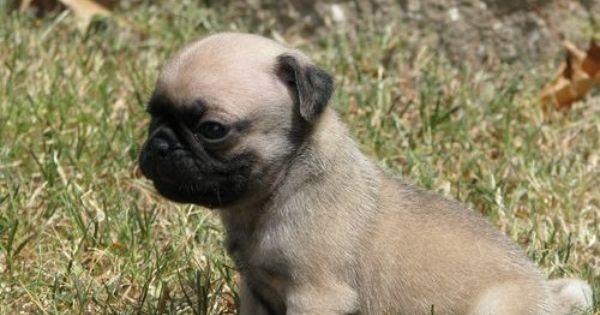 Adopt A Pug For Free Male Pug Puppy For Free Adoption Dubai City Pt98740 Pug Puppy Pugs For Adoption Puppies
