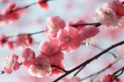 Cherry Blossom Centerpiece Ideas Ehow Flowering Cherry Tree Cherry Blossom Fragrance Japanese Cherry Tree