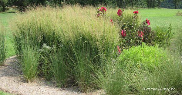 Northwind oriental grass gardening pinterest grasses for Oriental grass for shade