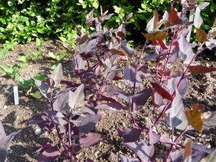 Rote Gartenmelde Atriplex Hortensis Purple Orach Good Salad And Spinache Plant Seeds 1 50 Saatgut Vielfalt Saatgut Pflanzen Stauden