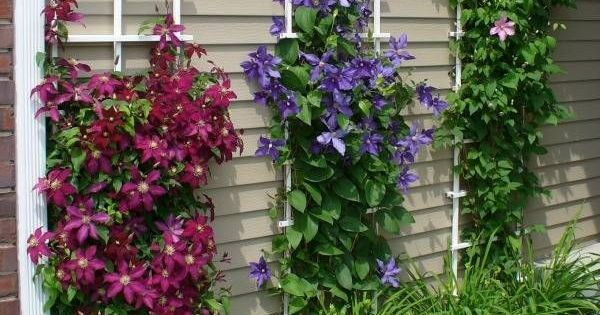 Clematis Vines With Daylilies Gardening Pinterest