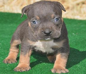 Types Of American Bully Style Pitbull Bloodlines Cute Animals