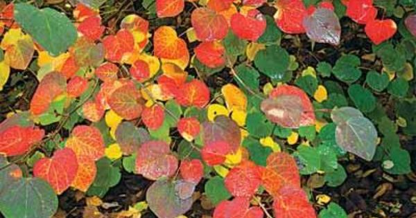 10 Best Trees And Shrubs For Fall Color Redbud Tree Eastern Redbud Trees And Shrubs