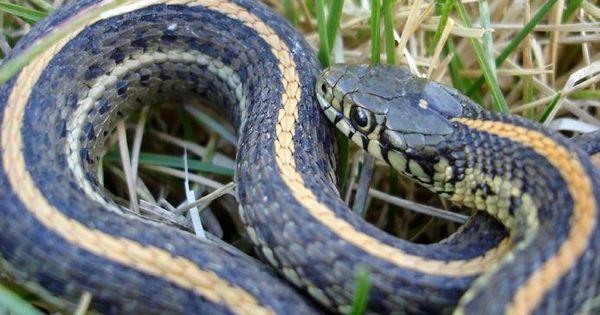 What Do Garden Snakes Eat Slideshow Dream Garden
