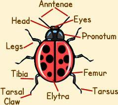 Ladybird Anatomy Diagram Picture Of Ladybug Anatomy With