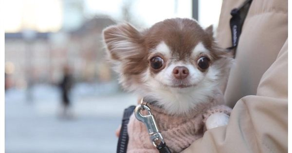 Freaky Smile Chihuahua Cute Chihuahua Chihuahua Puppies