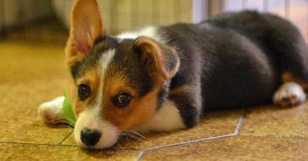 Jedi The Pembroke Welsh Corgi Corgi Welsh Corgi Puppies Welsh