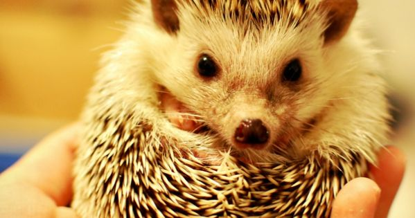 Does your child want a pet hedgehog? Come find out if