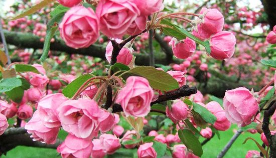 Brandywine Crabapple // Great Gardens Ideas //