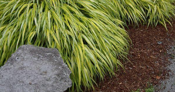 Hakone grass japanese forest grass 39 aureola 39 hakonechloa for Japanese ornamental grass varieties