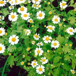 Feverfew Plant Harvesting Learn When To Harvest Feverfew Leaves Feverfew Plant Herbs Feverfew