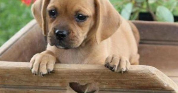 Pug And Dachshund Daug Pug Mixed Breeds Pugs Puggle Puppies