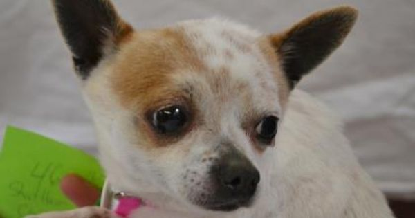 Adopt Harley A Lovely 4 Years 7 Months Dog Available For Adoption At Petango Com Harley Is A Chihuahua Short Coat And Chihuahua Dog Adoption Chihuahua Lover