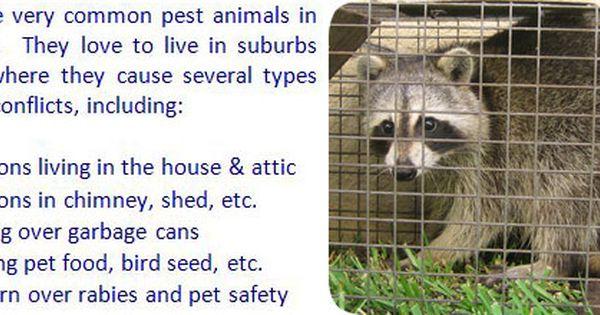 Raccoon Repellent Moth Balls Ammonia Sound Machine Deterrent Getting Rid Of Raccoons Raccoon Repellent Raccoon