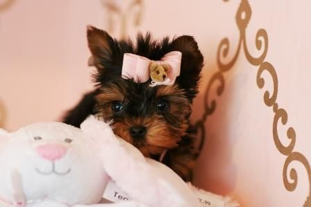 Teacup Yorkies For Sale Teacup Yorkie Dogs Florida Yorkie Puppy Yorkie Dogs Yorkie