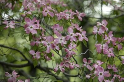 How To Plant Care For A Pink Dogwood Tree Pink Dogwood Tree