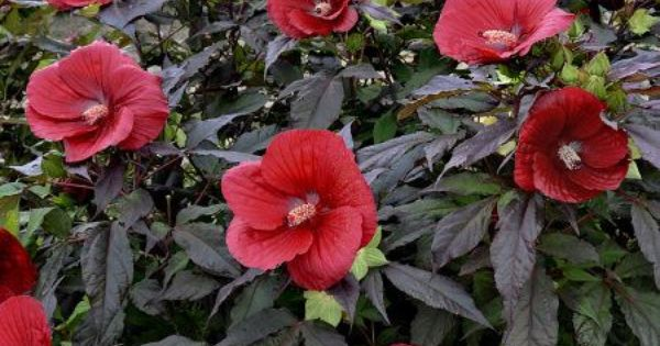 Midnight Marvel Razzle Dazzle Giant Hibiscus From Cottage Farms Bigger Is Definitely Better Take Your Garden To The With Images Flower Pots Bonsai Flower Flower Seeds