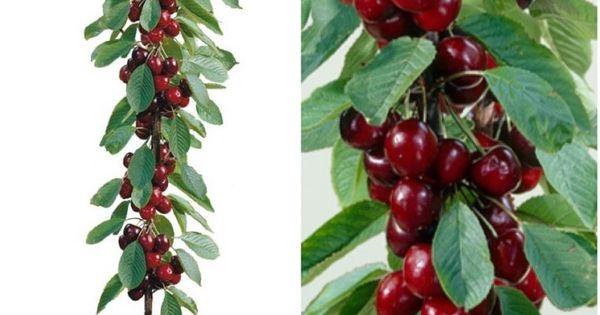 8 fruits que vous pouvez faire pousser tranquillement sans forc ment avoir un jardin fruit - Faire pousser un cerisier ...