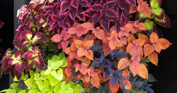 Four varieties of coleus pair beautifully with chartreuse and black sweet potato