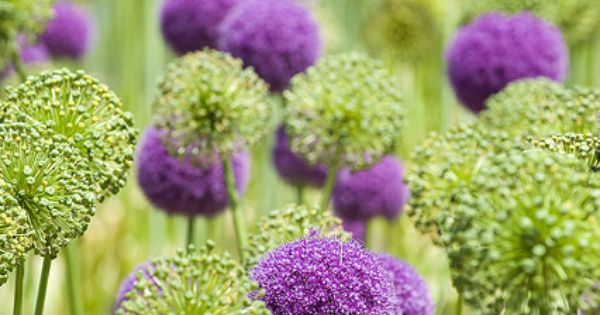 PURPLE & GREEN purple allium, plant bulbs in fall