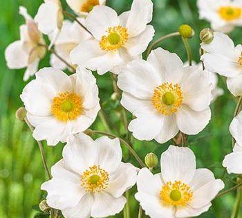Sun Perennials Honorine Jobert Japanese Anemone Spring Hill Nursery Japanese Anemone Sun Plants