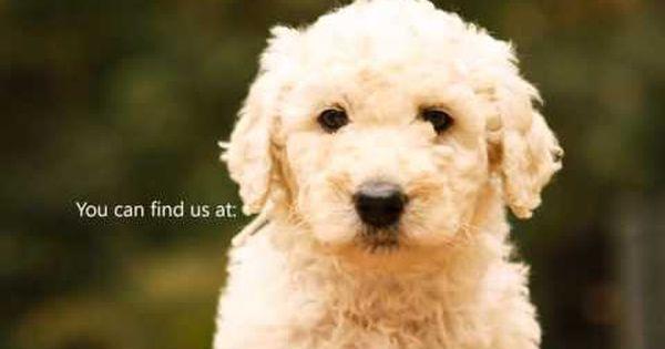 The Pups Of Parfait Mischen Goldendoodles Goldendoodle Pup Goldendoodle Puppy