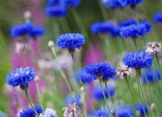 Bachelor S Buttons Blue Boy Flower Garden Plants Winter Garden