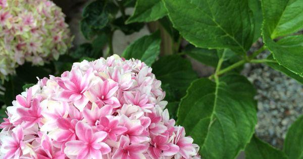 Some Of My Hydrangeas Hydrangeas Pinterest