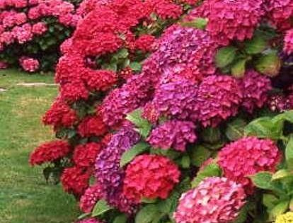 Hydrangeas. If I had a green thumb...