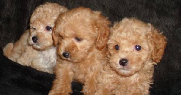 Red Apricot Maltese Poodle Cute Animals Maltese Poodle Sweet