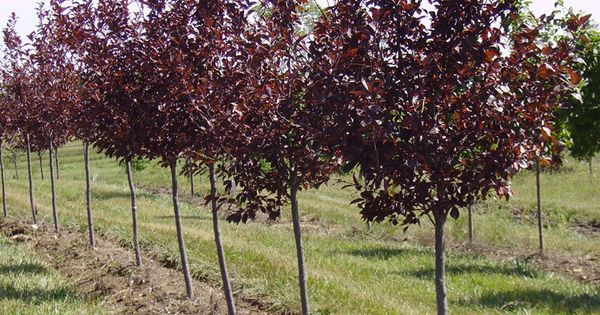 Canada red select cherry tree modern yard pinterest for Alberelli da terrazzo