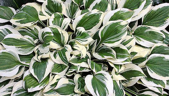 'Diamonds are Forever' Hosta Each dark green leaf has a broad, snow-white