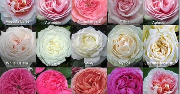 Love mayesh for making this garden rose variety roundup - full thing