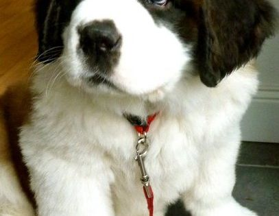 Saint Bernard puppy! They're so cute when they're little i have 2