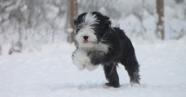 Bearded Collie Dog Art Portraits Photographs Information And Just Plain Fun Also See How Artist Kline Draws His D Dog Bearding Bearded Collie Collie Puppies