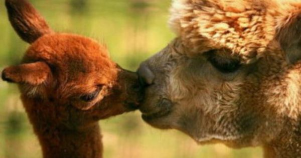 Pin By Anne Pashia Pingel On You N Me Animals Kissing Cute Baby Animals Cute Alpaca