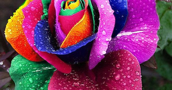 The meaning of rose bouquets can range from feelings of love, affection, to even friendship depending on the color and the message. Sometimes the only flower .