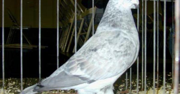 أنواع الحمام Animals Pigeon Birds