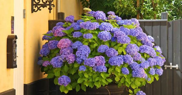 25 hydrangea flower pot and planter arrangements photos planters flowers and home - Care potted hydrangea ...