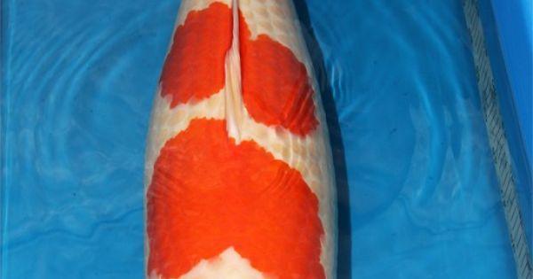 Koi carp the most expensive koi fish ever sold koi carp for Expensive koi fish
