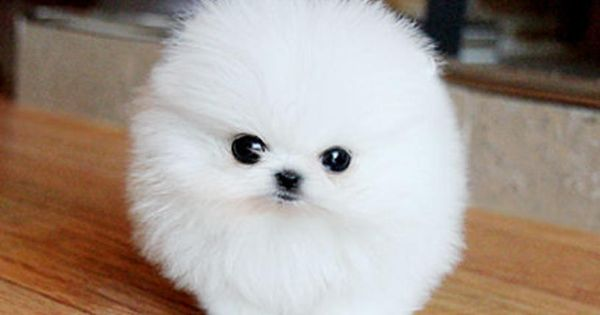Rescued Pomeranians For Adoption Gorgeous Male And