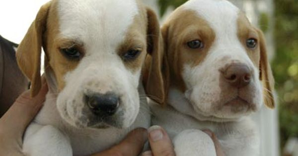 English Pointer Sooo Cute And Great Bird Dogs Best Of Both