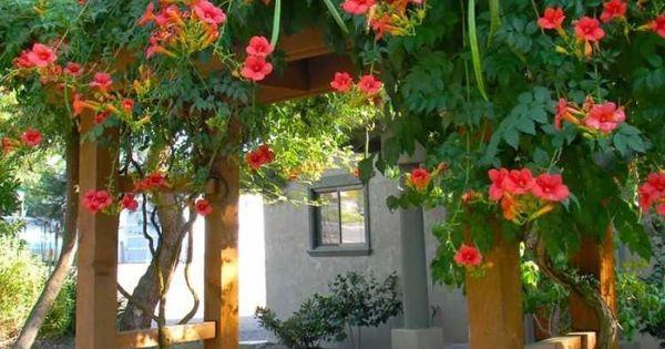 plantes grimpantes pour pergola 20 id es romantiques plante grimpante la trompette et fleur. Black Bedroom Furniture Sets. Home Design Ideas